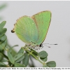 callophrys rubi male rost