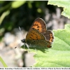 lycaena helle male1