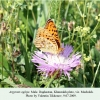 argynnis aglaja daghestan machokh male 1