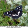 limenitis reducta male2