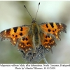 polygonia c-album 2male2