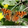 polygonia c-album 4female1
