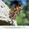 polygonia egea daghestan male 1
