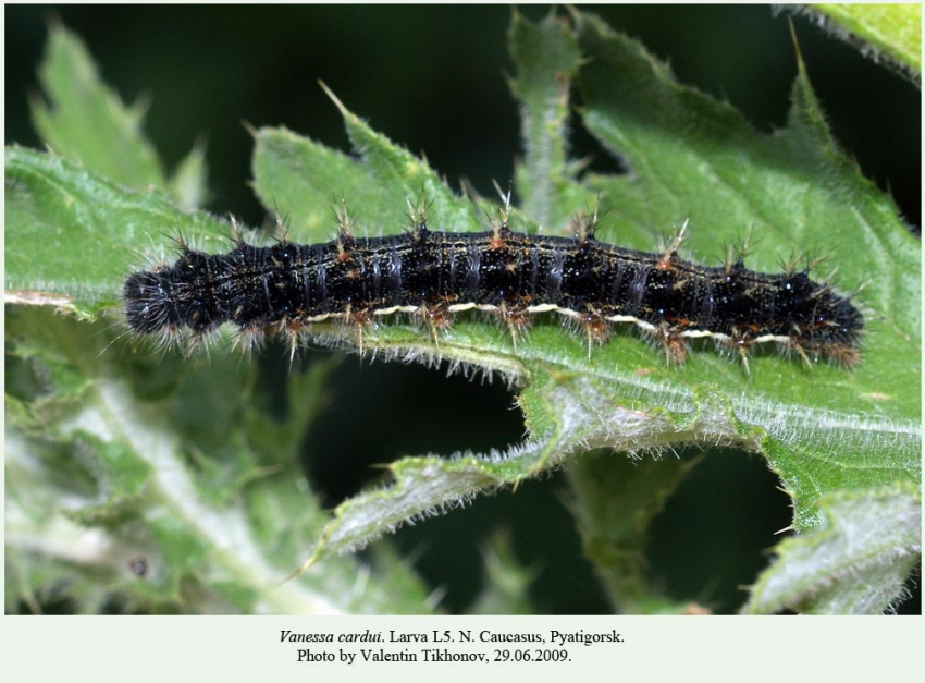 vanessa butterfly larvae - 850×627