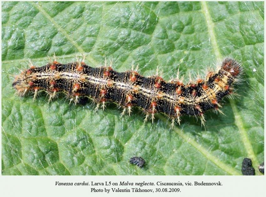 vanessa butterfly larvae - 850×632