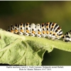 papilio machaon larva4