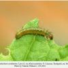 anthocharis cardamines pyatigorsk larva1a