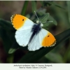 anthocharis cardamines pyatigorsk male1a