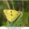 colias hyale male1