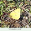 colias thisoa male cheget2