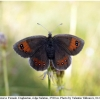 erebia iranica female5