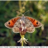 erebia iranica female6