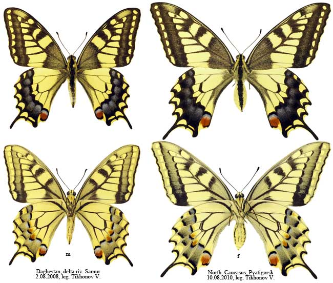 Papilio machaon L.